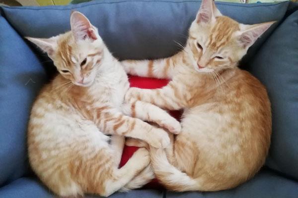 Smarrito gatto rosso a Bologna, via Misa